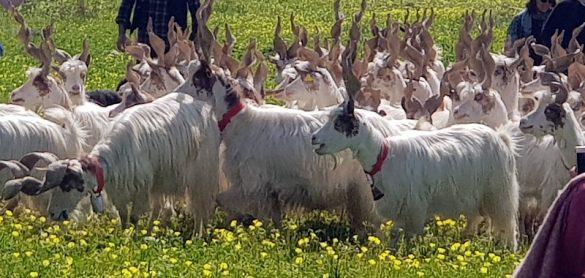Valeria, Giuseppe e la capra girgentana